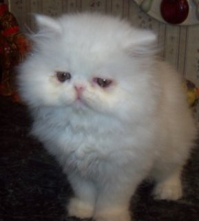 AMAZING PERSIAN KITTENS FOR ADOPTION.