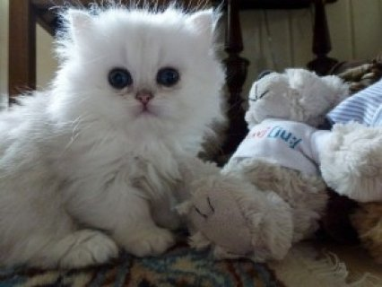 Cute Persian Kittens Available  23