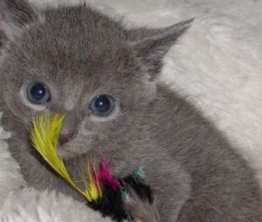 Male and Female Russian Blue Kitten