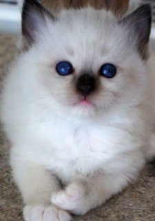 Ragdoll Kitten For Sale  2