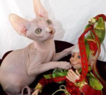 Purrbalds Sphynx Cats  QW