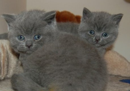 صور British Short Hair Kittens Ready Now 1