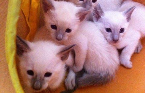 SIAMESE KITTENS FOR GOOD HOME