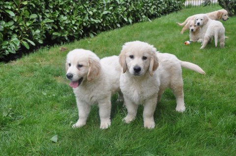 Excellent Labrador Puppies for Adoption