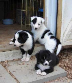 Gorgeous Colllie Pupppies for adoption