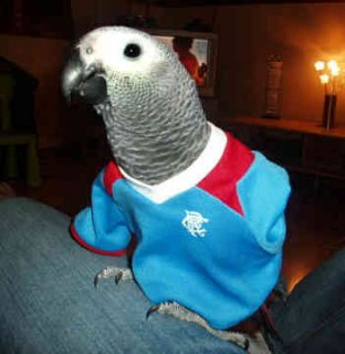 African grey parrot with cage for sale