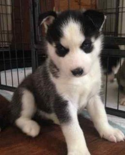 4 healthy black and white KC REG siberian husky pups