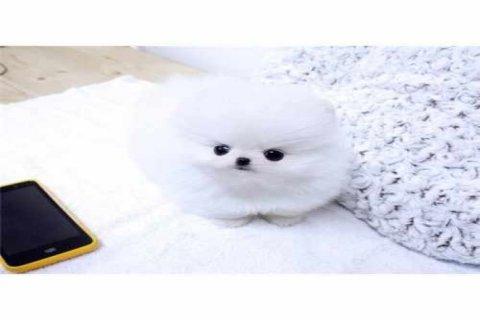Amazing snow white Tcup Pomeranian for sale