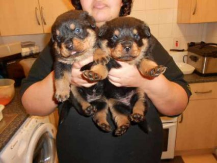 Black and brown Good homing Rottweiler puppies