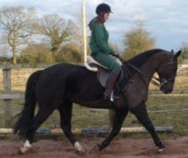 Smart & Brilliant Horse Frisian  (Male and Female) For Sale