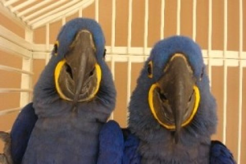 Trained and Tamed Hyacinth macaw Parrots for free adoption