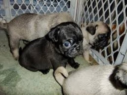 Well Socialized Pug Pups