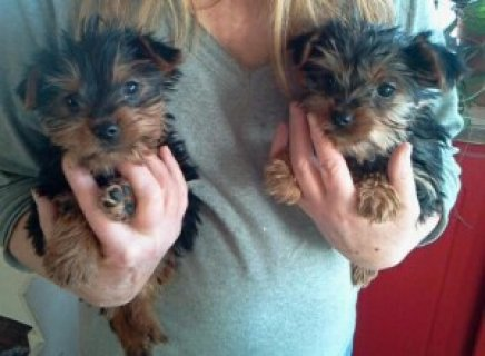 صور Exceptional Tea-Cup Yorkie Puppies 1