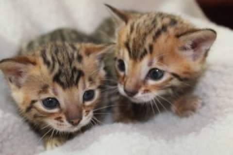 Adorable Bengal kittens.....