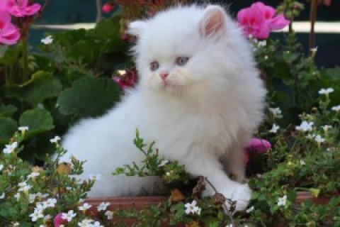 Persian Kittens Available.....