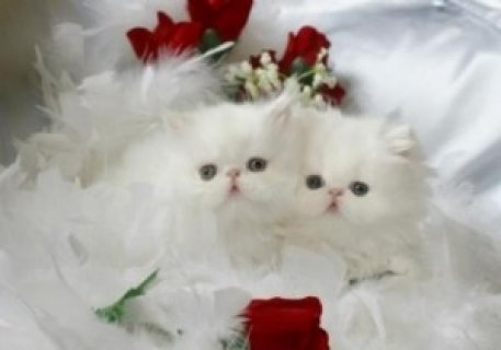 Kittens For Sale,,,