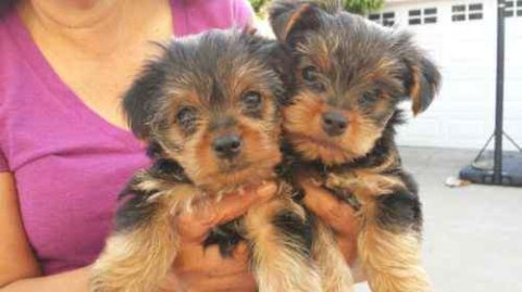Charming Yorkie puppies Available