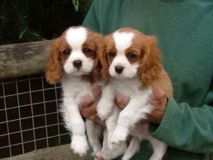 King Charles cavalier puppies available now