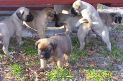 BEAUTIFUL AND LOVELY MASTIFF PUPPIES FOR ADOPTION