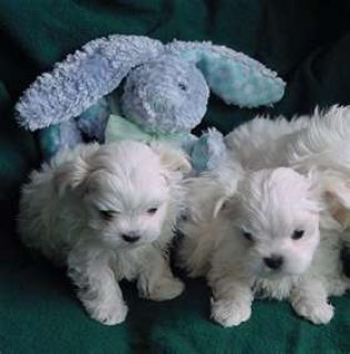 Sweetest male an female maltese puppies now ready for sale