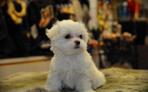 Little Cutest maltese puppy for adoption