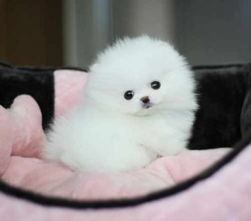 Cut male and female.Tiny Teacup Pomeranian for adoption.