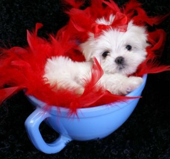 These Maltese Puppies are free for any loving and caring home
