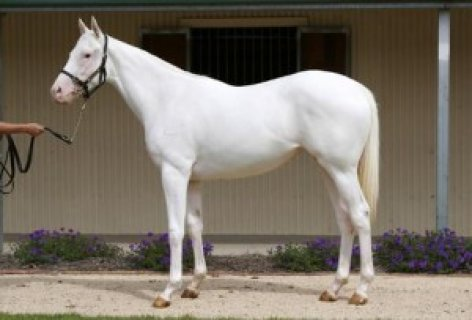 Pure white Arabian Mare!exotic White Silk horse
