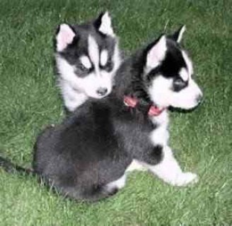 Excellent Blue Eyes Siberian Husky Puppies Ready For Adoption