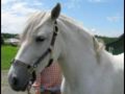 صور White Frisian Horse for sale 1
