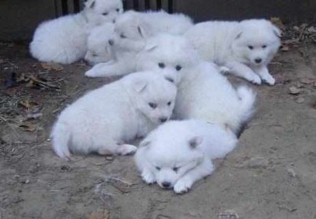 CUTE AND LOVELY AMERICAN ESKIMO PUPPIES FOR ADOPTION