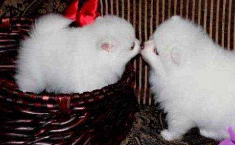 Teacu pomeranian puppies for  adoption