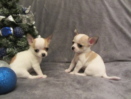 smooth coated Chihuahua puppies