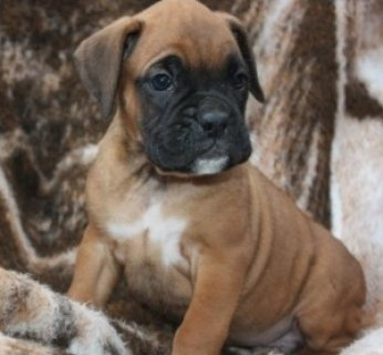 2 Cute Boxer Puppies for Sale