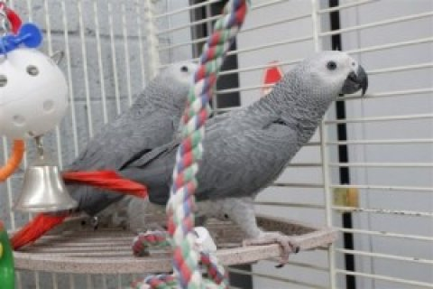 My Two African Grey Parrots for Saleo