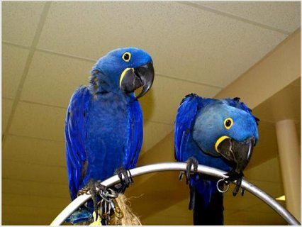 Our Two Baby Hyacinth Macaw baby parrotss