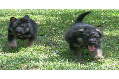 Two German shepherd puppies for adoption