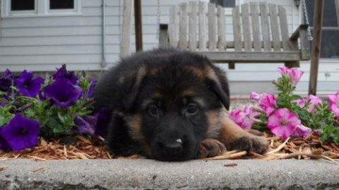 2 German Shepherd puppies for Rehoming23657