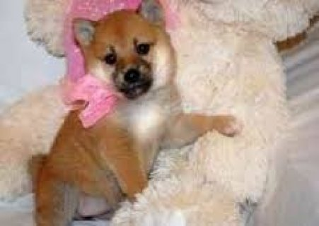 Akc Shiba Inu Puppies For AdoptionY
