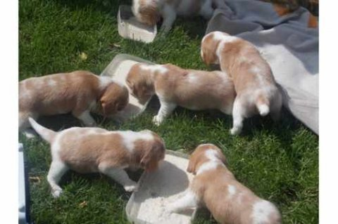 صور Male and Female Beagle puppies for Adoption 1