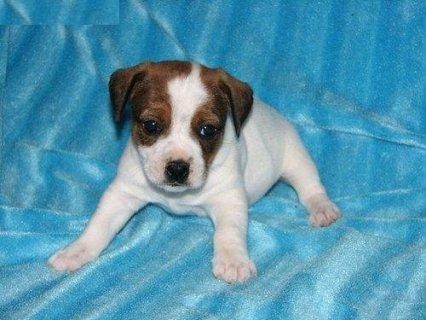 صور Jack Russell Terrier Puppies For Sale 1