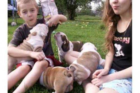 beautiful and super nice English bulldog puppies