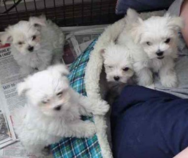Chunky Litter of Maltese puppies,2 little girls and a boys avail