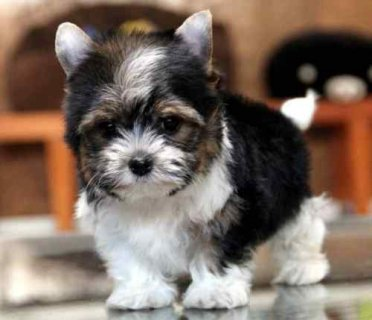 TCup Biewer Yorkie Puppy searching for a new lovely home