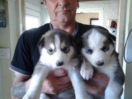 Beautiful Siberian Husky puppies available.