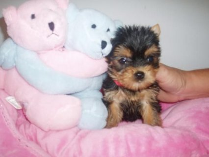 Cute Teacup Yorkie Princess122