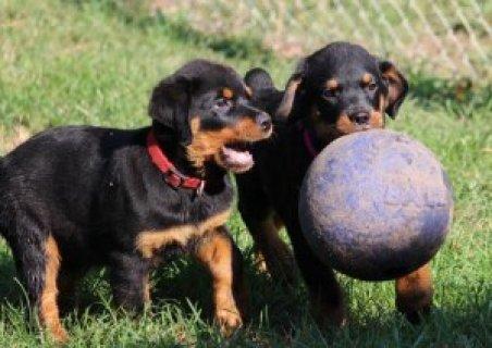 Magnificent Rottweiler Puppies