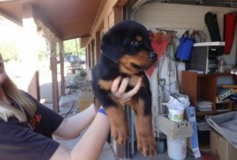Beautiful Black and Brown Rottweiler puppies