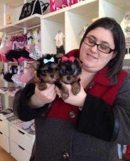 exTiny Yorkie Puppies