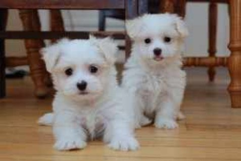 We have 2 AKC registered Teacup Maltese puppies
